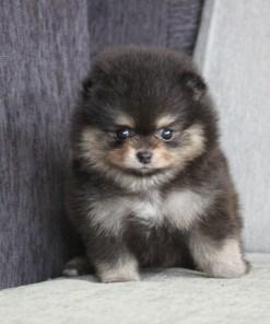Black Teacup Pomeranian Betty