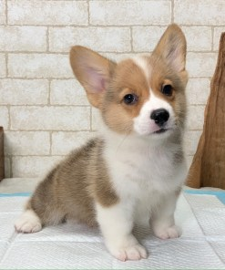 Pembroke Welsh Corgi - Adam