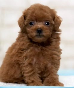 Red Teacup Poodle - Veronica