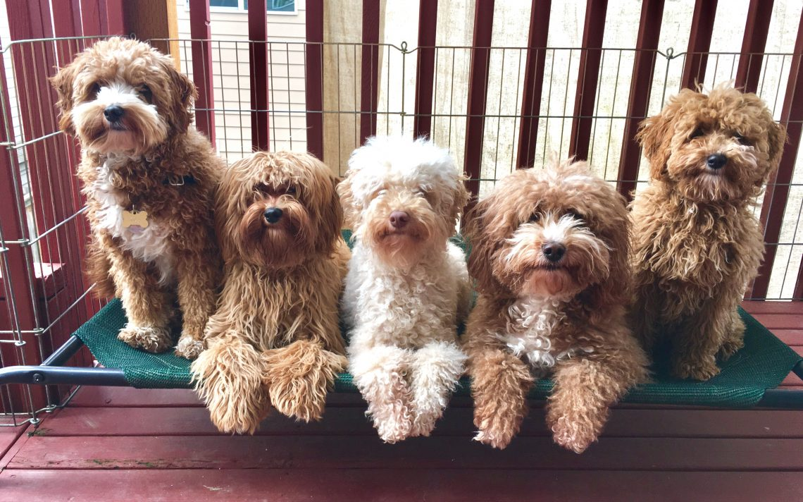 Pups By Taylor - Seattle Labradoodles, Goldendoodles, and