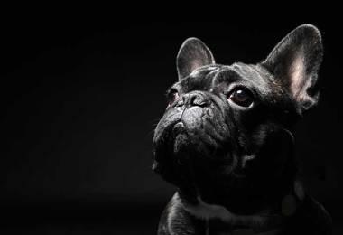 dog dies united airlines