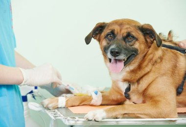 Canine Blood Donors FI