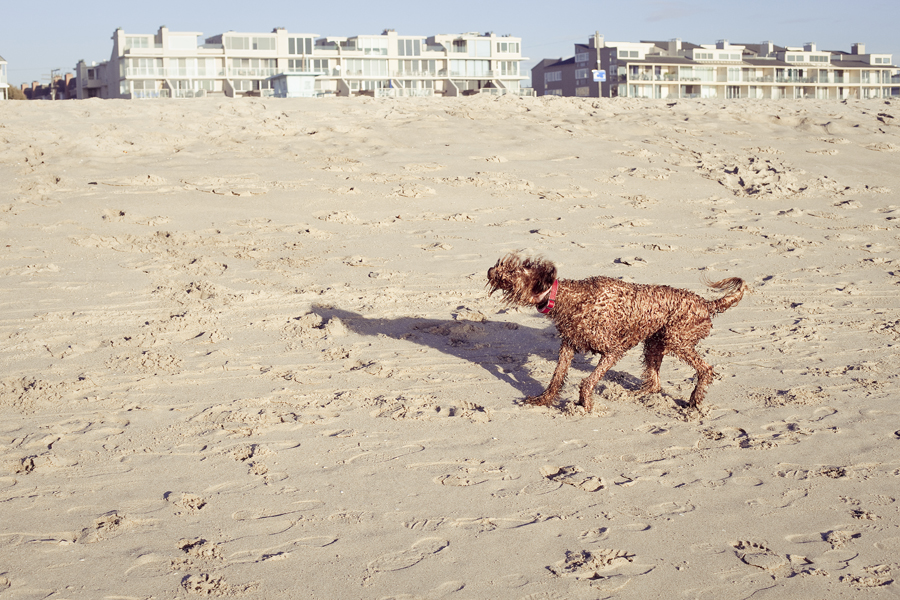 Poodle shaking itself dry after romping around in the sea at Marina Del Rey beach.