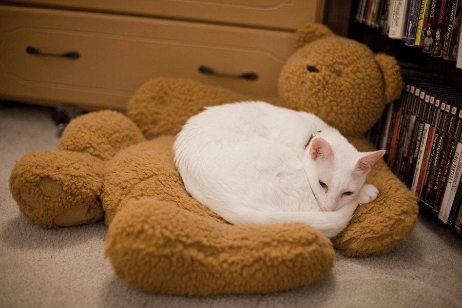 General the Siamese cat snuggled on his teddy bear bed.