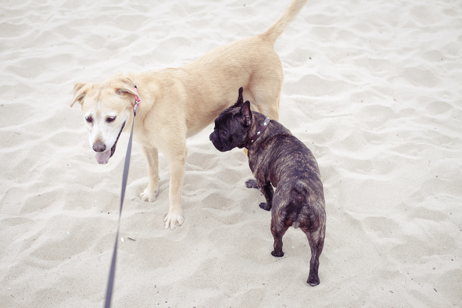 Annabel making friends with a young pug on the beach.