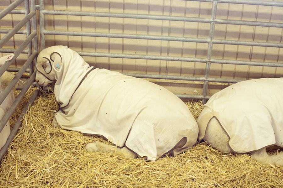 Dorset sheep under a blanket at the Orange County Fair.