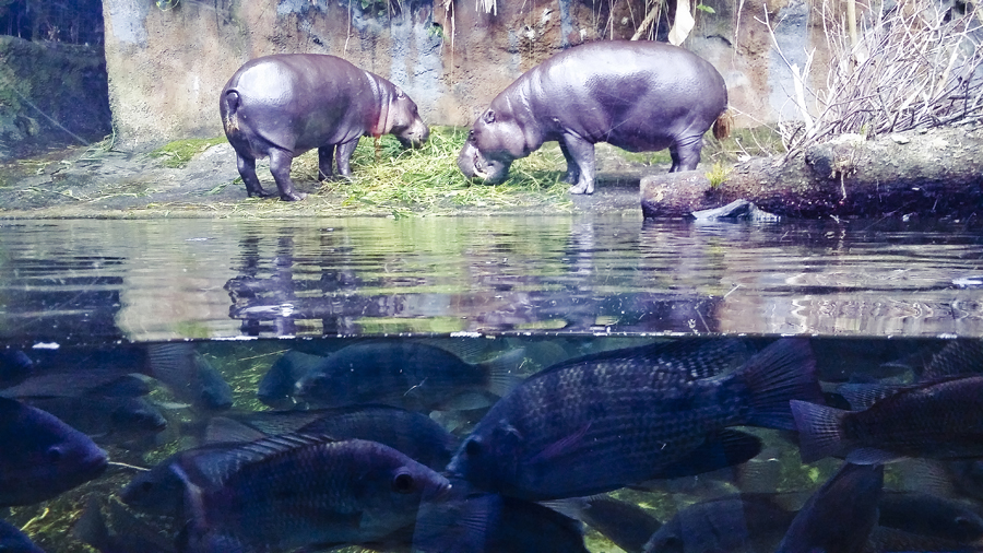 Pygmy hippos on land and fish in the water at the Singapore Zoo.