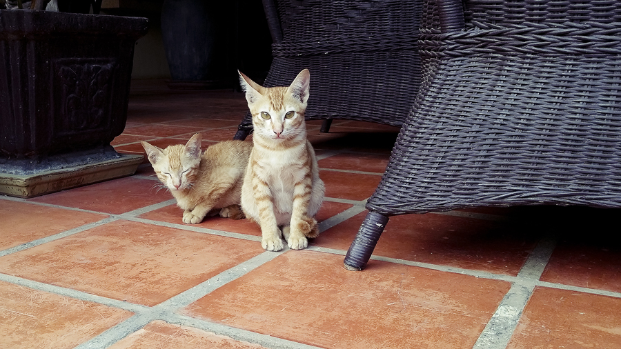 Kittens at the Lotus Lodge, Siem Reap, Cambodia.