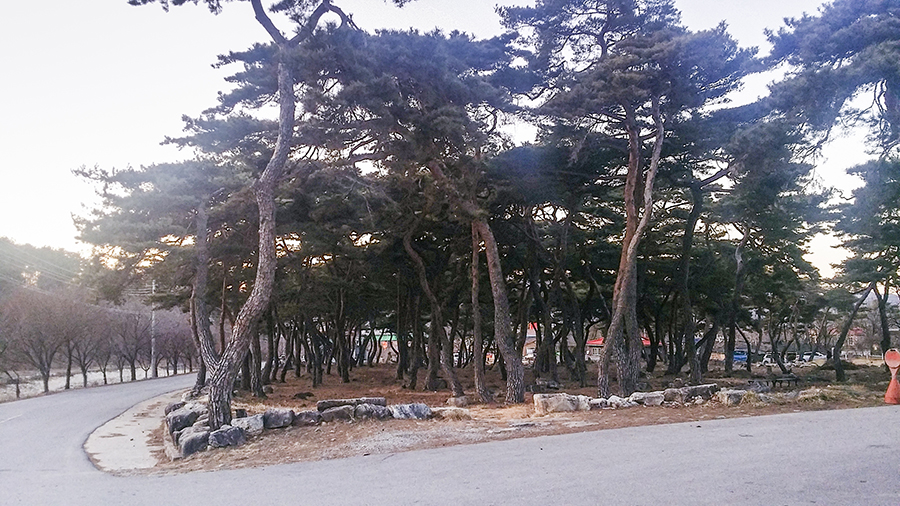 Crooked trees in the winter of in Sangju, South Korea.