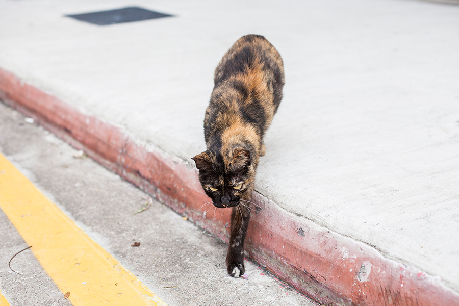Calico cat walking towards me.