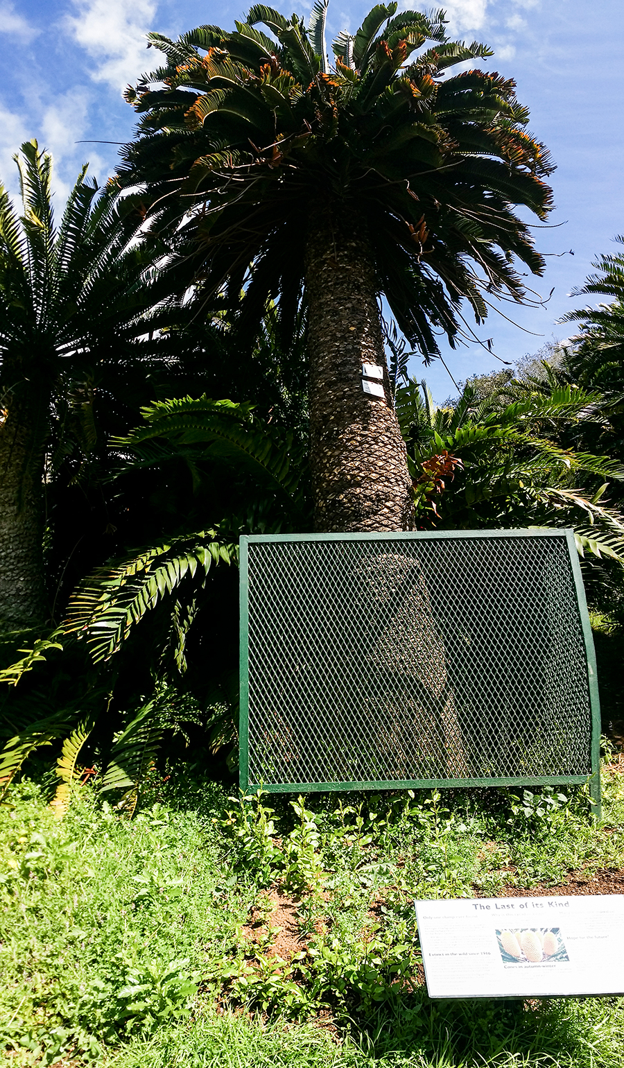 Last cycad of its kind at Kirstenbosch, South Africa.