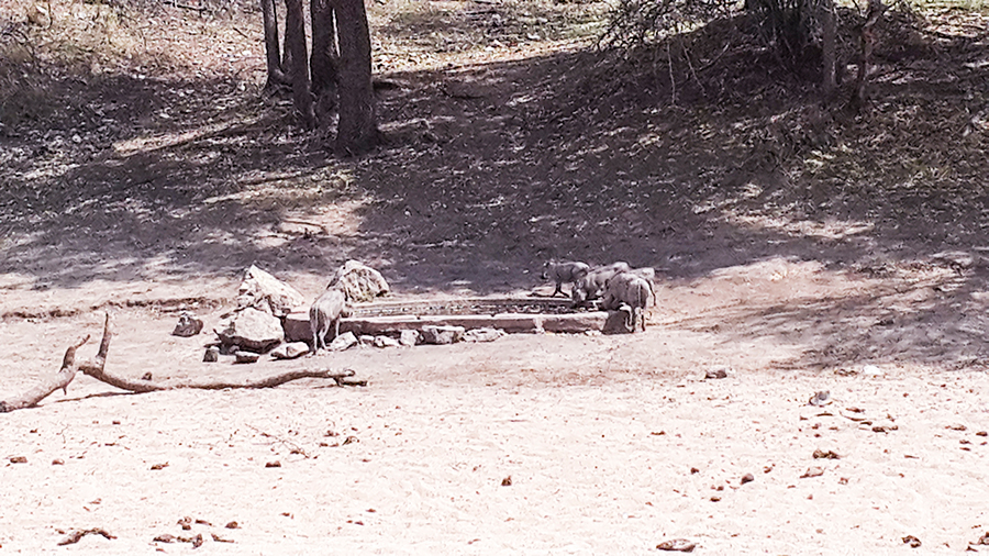 Wild boars drinking from watering hole at Rhino Post Safari Lodge, Kruger National Park, South Africa.