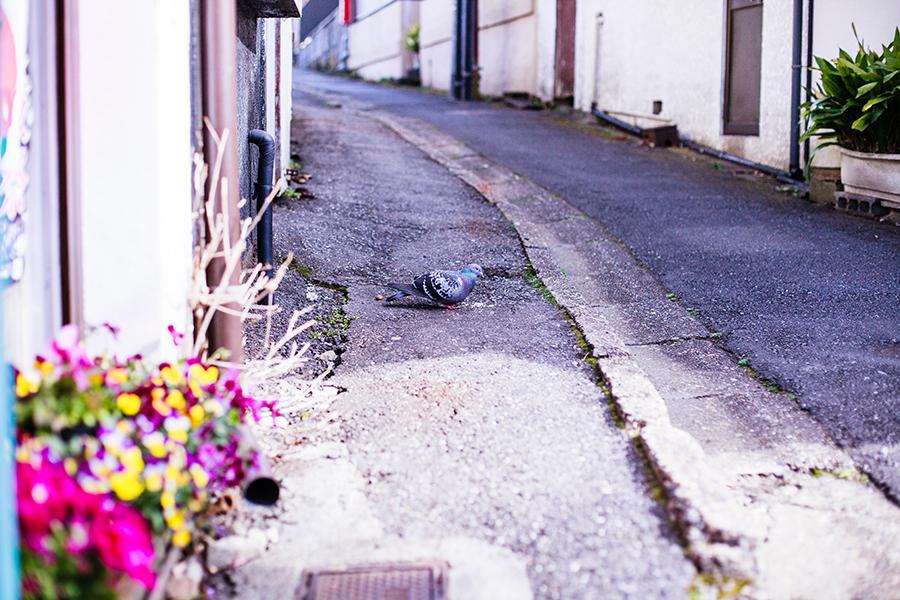 Pigeon at Omotesando at Narita, Chiba, Japan
