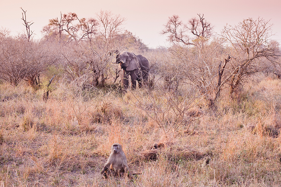 Elephant and ape at Kruger National Park, South Africa.