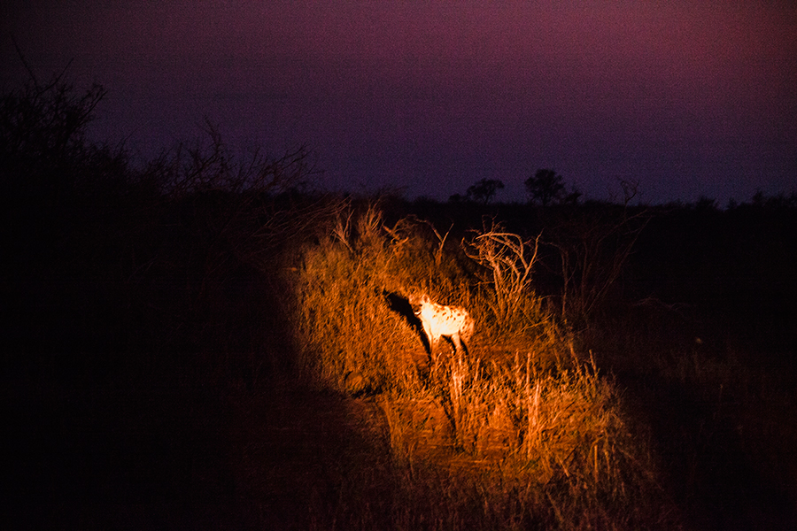 Spotted Hyena at night at Kruger National Park, South Africa.