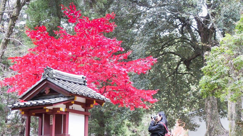 Ren taking a photograph of a very red maple tree at Nara Park, Japan. Photo by Shasha.