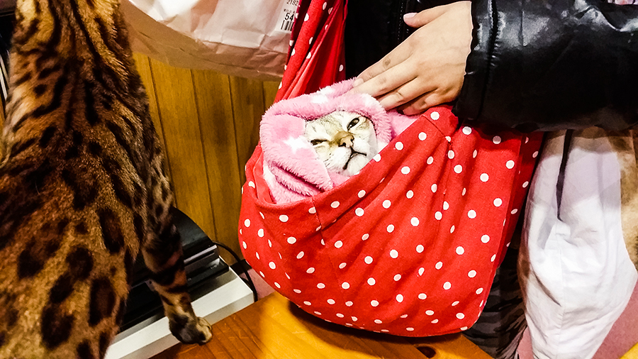 Cat bundled up at Nyan Tsume, Osaka, Japan.