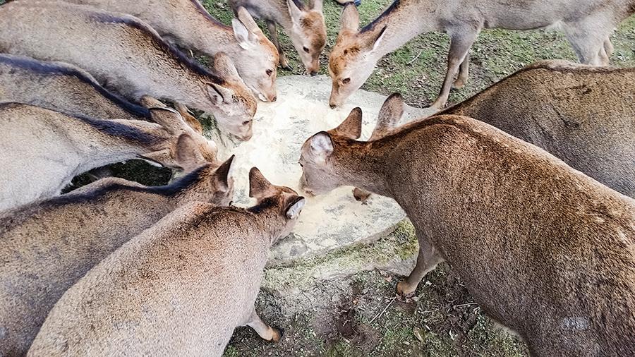 Deer feeding at Nara Park, Japan.