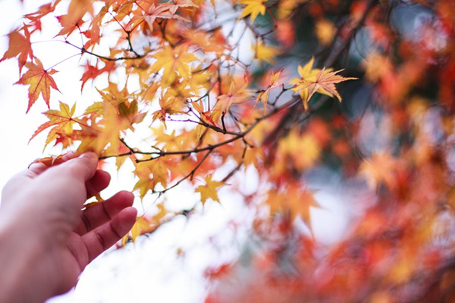 Maple leaves at Nara Park, Japan.