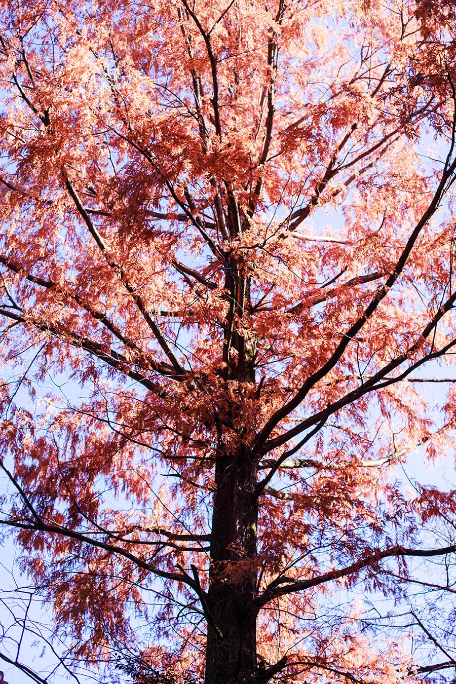 Orange red momiji (maple tree) at Fushimi Inari in Kyoto, Japan.