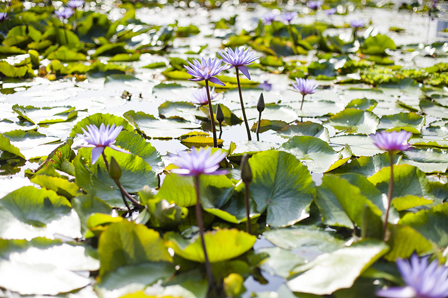 Purple lotus flowers at the ArtScience Museum in Singapore.
