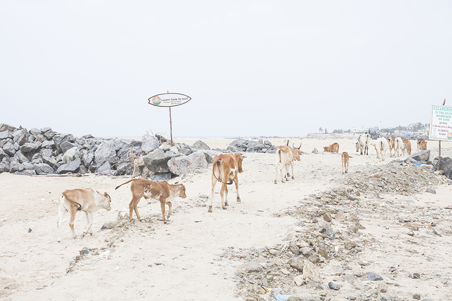 Cows on the beach in Chennai India.