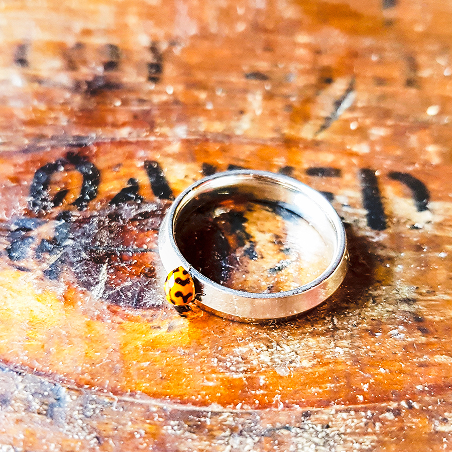 Yellow ladybird on a knife-edged wedding band.