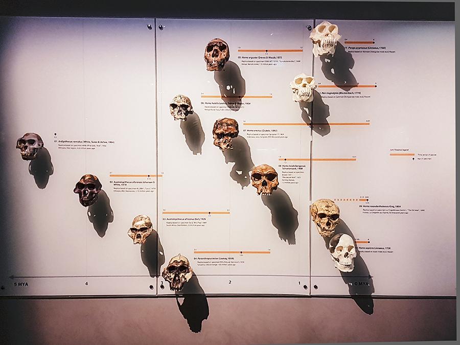 Skulls at Lee Kong Chian Natural History Museum.