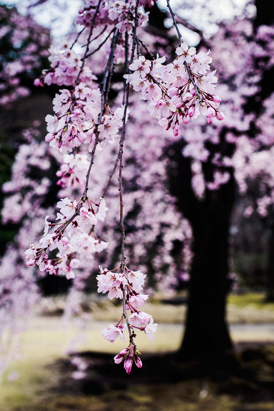 Sakura at Koishikawa Korakuen, Tokyo Japan.