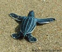 Leatherback Baby