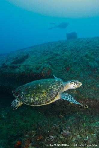 Princess Anne Turtle
