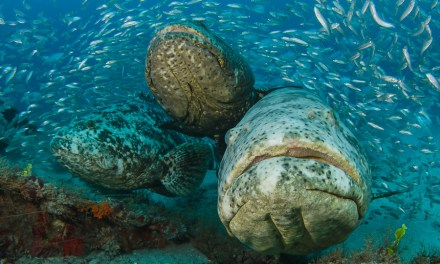 Goliath Grouper West Palm Beach:  Dive Report