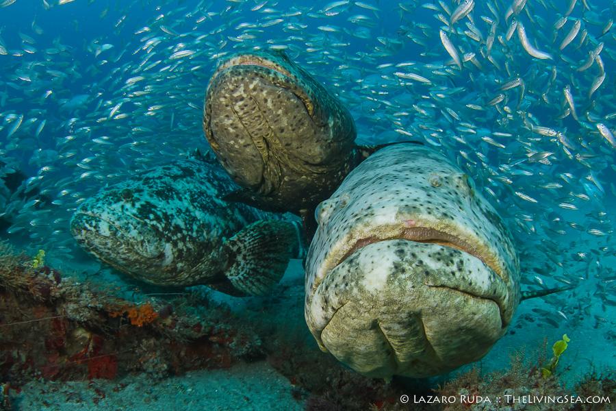 Goliath Grouper West Palm Beach:  Dive Report