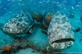Goliath Grouper Zion Wreck