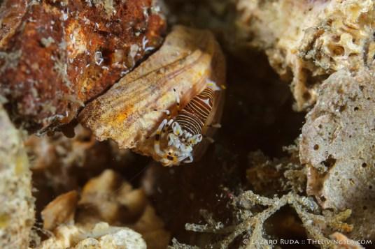 Bumble bee shrimp