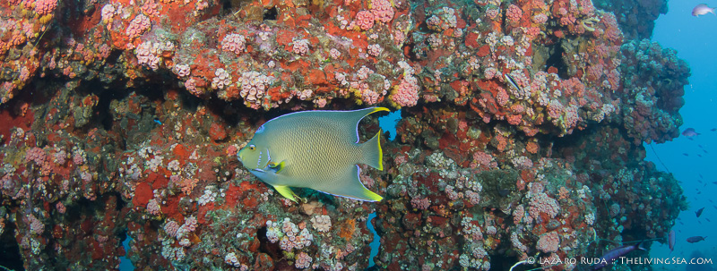 Blue angelfish on the wreck