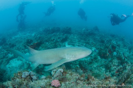 A nurse shark swims past the group