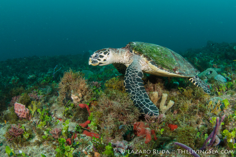 Even local wildlife such as this hawksbill whose home range is within Juno Ledges has algae growing on its shell.