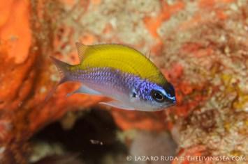 Juvenile sunshinefish: Chromis insolata