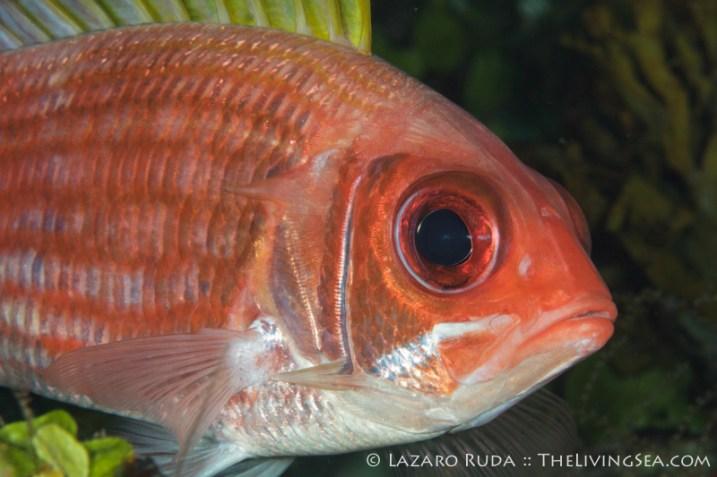 squirrelfish: Holocentrus adscensionis