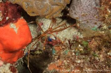 yellowline arrow crab: Stenorhynchus seticornis