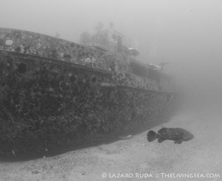 Goliath grouper on the Danny McCauley Memorial Reef