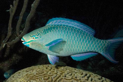 Queen_Parrotfish-3