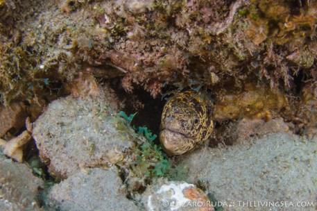 Uncommon chain moray eel