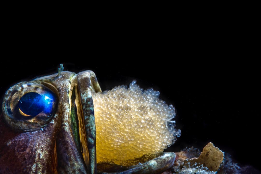 Jawfish With Eggs by Wayne MacWilliams 1
