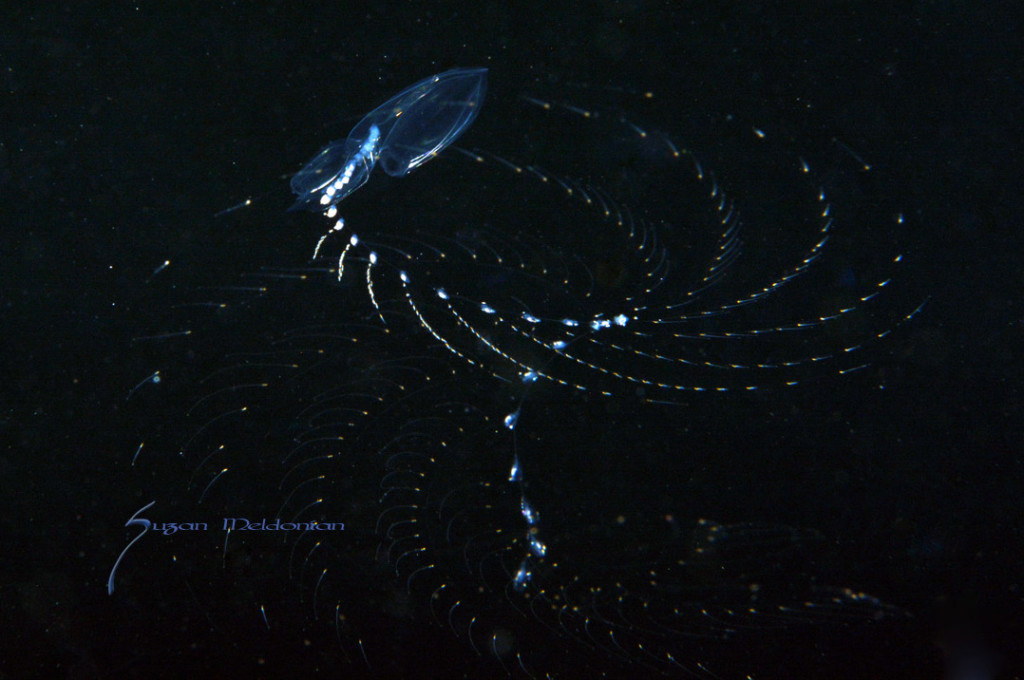 Spiro Gyro- Siphonophore throwing out it's fishing net of sticky tentacles. By Suzan Meldonian