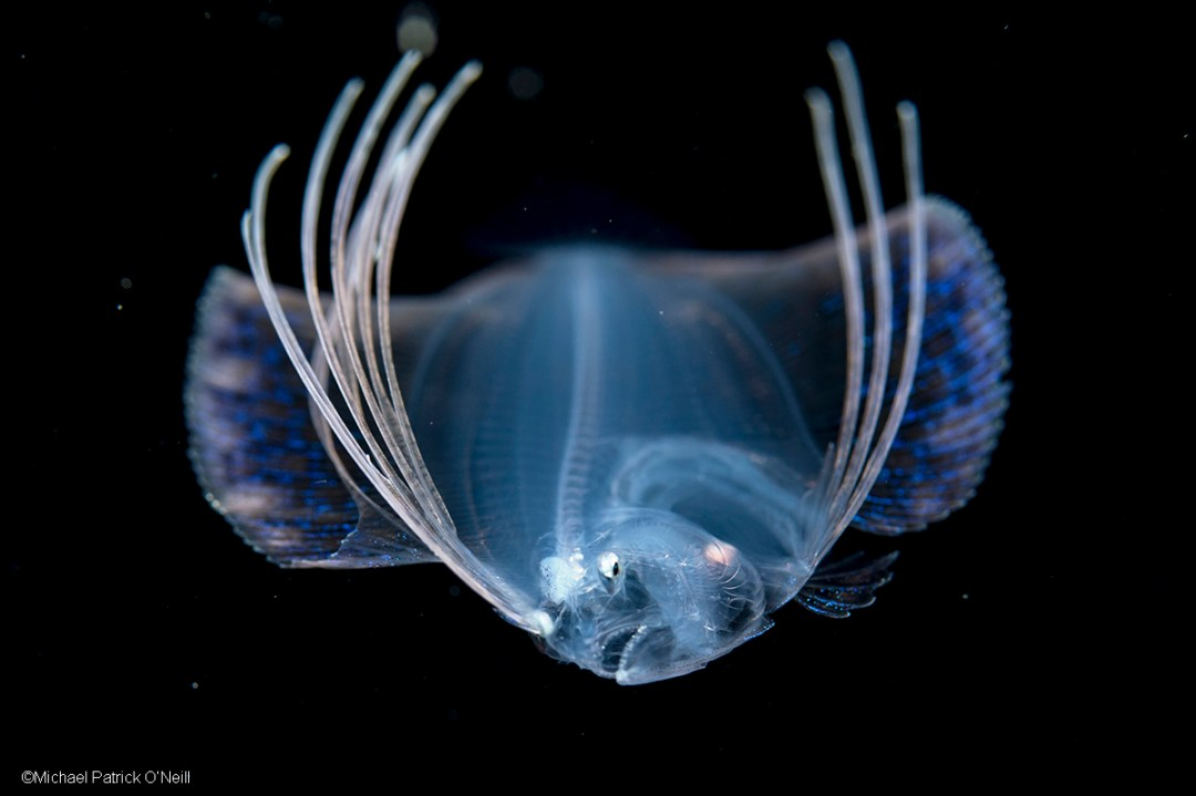 A larval flounder, possibly a Spotfin, Cyclopsetta fimbriata, swims at night in the Gulf Stream several miles offshore Singer Island, Florida.