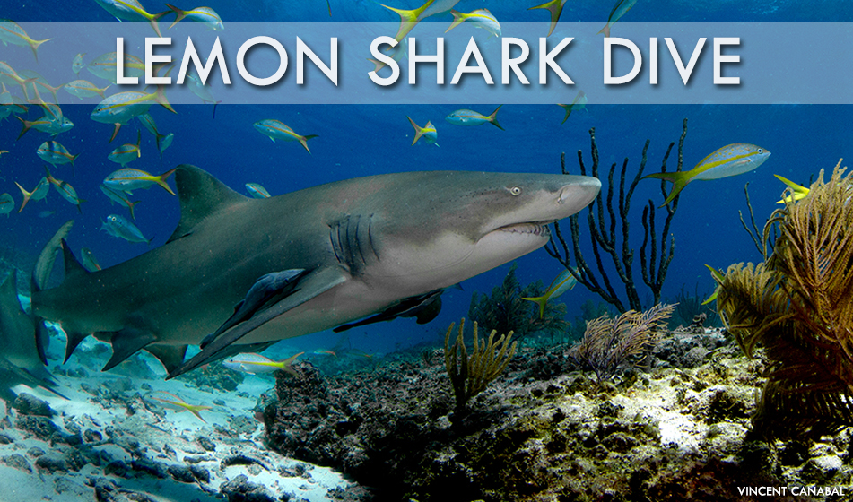 Lemon Shark Dives 2019