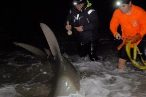 Great Hammerhead Sharks Shore Tagging
