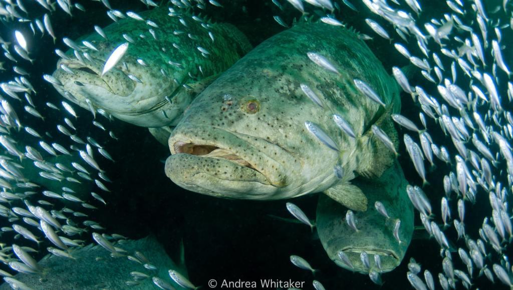 Atlantic Goliath Grouper Fishery Image 2